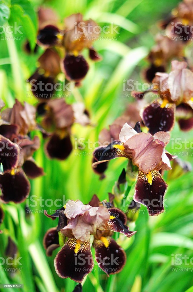 Dewy burgundy Iris flowers in the garden stock photo