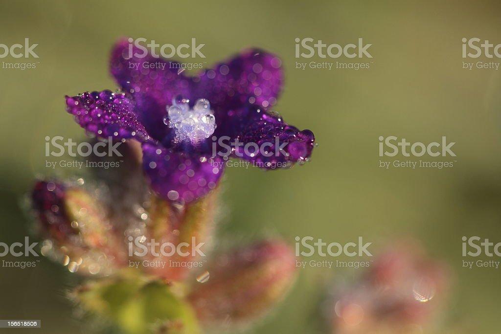 Dewy flower royalty-free stock photo