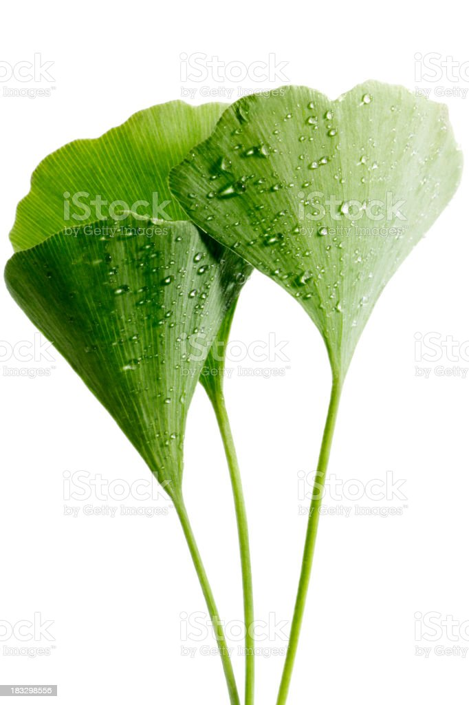 dewy ginkgo leaves stock photo