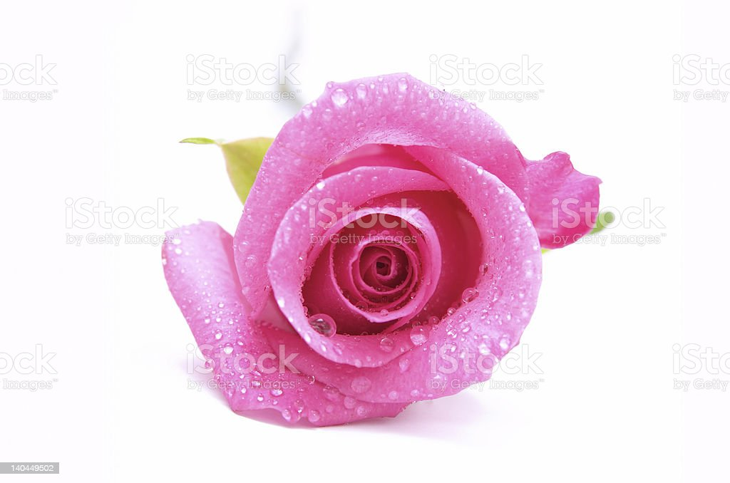 dewy pink rose stock photo