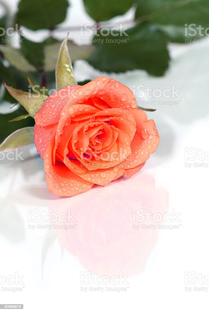 dewy rose royalty-free stock photo