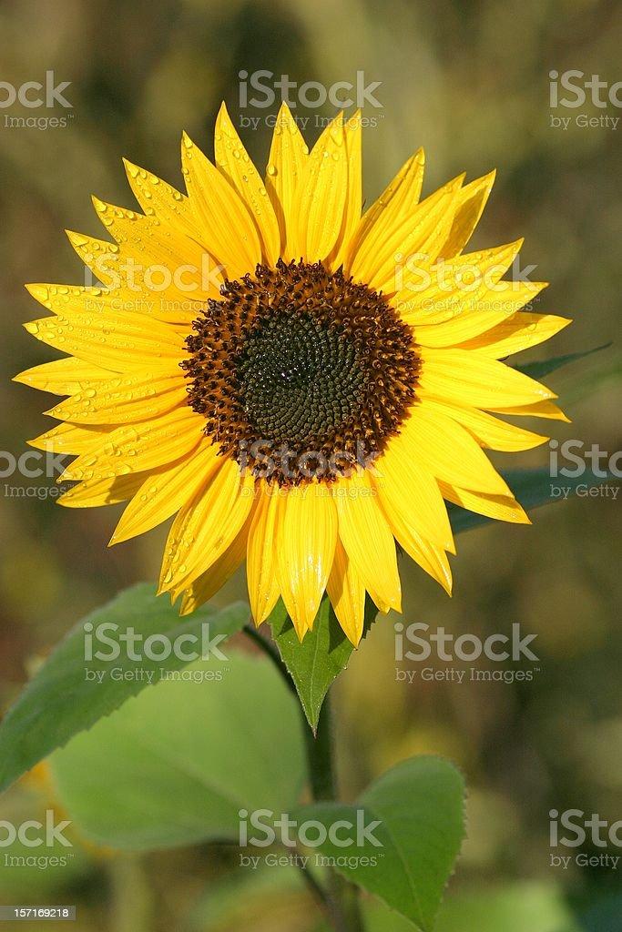 Dewy sunflower stock photo