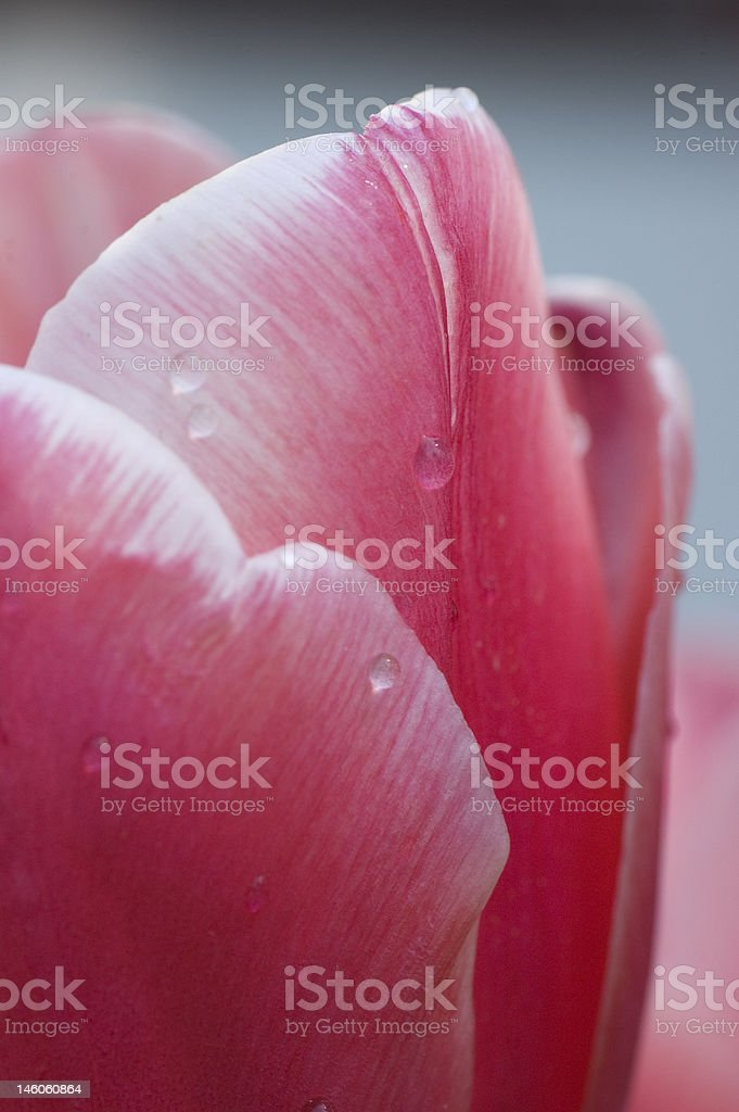 Dewy Tulip Petal royalty-free stock photo