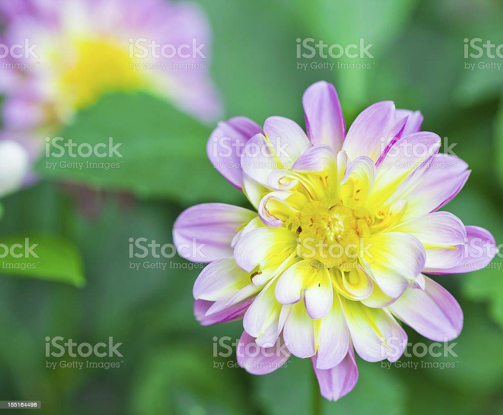 Dhalia flower in garden royalty-free stock photo