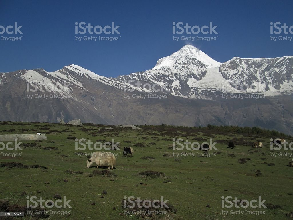 Dhaulagiri and yak herd royalty-free stock photo