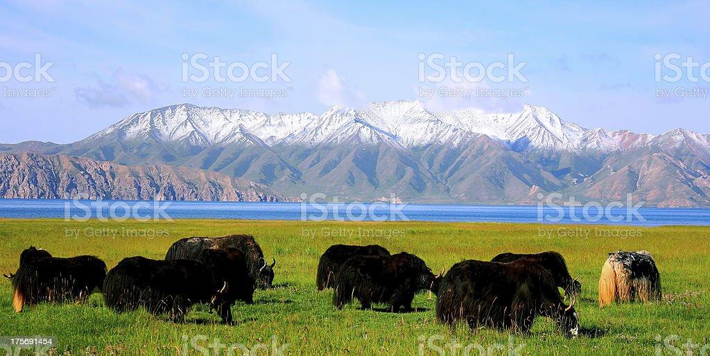 Dhaulagiri and yak herd royalty-free stock photo