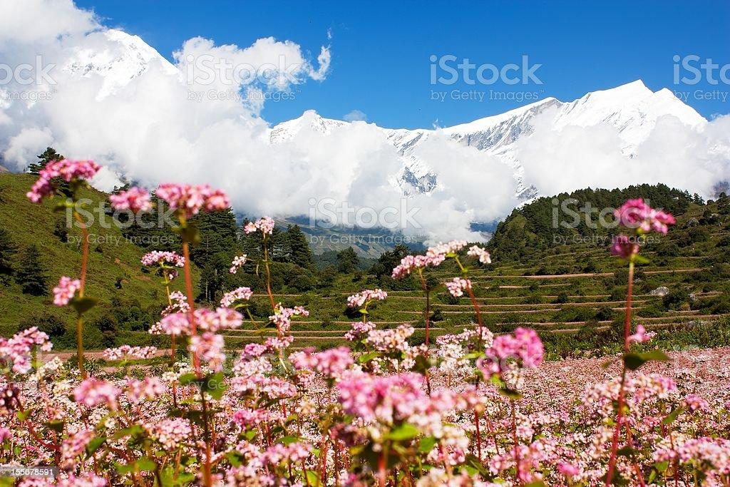 dhaulagiri himal avec champ de blé photo libre de droits