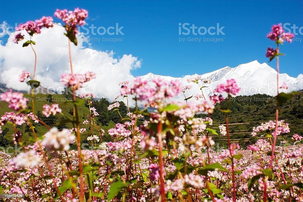 Dhaulagiri himal with buckwheat field royalty-free stock photo
