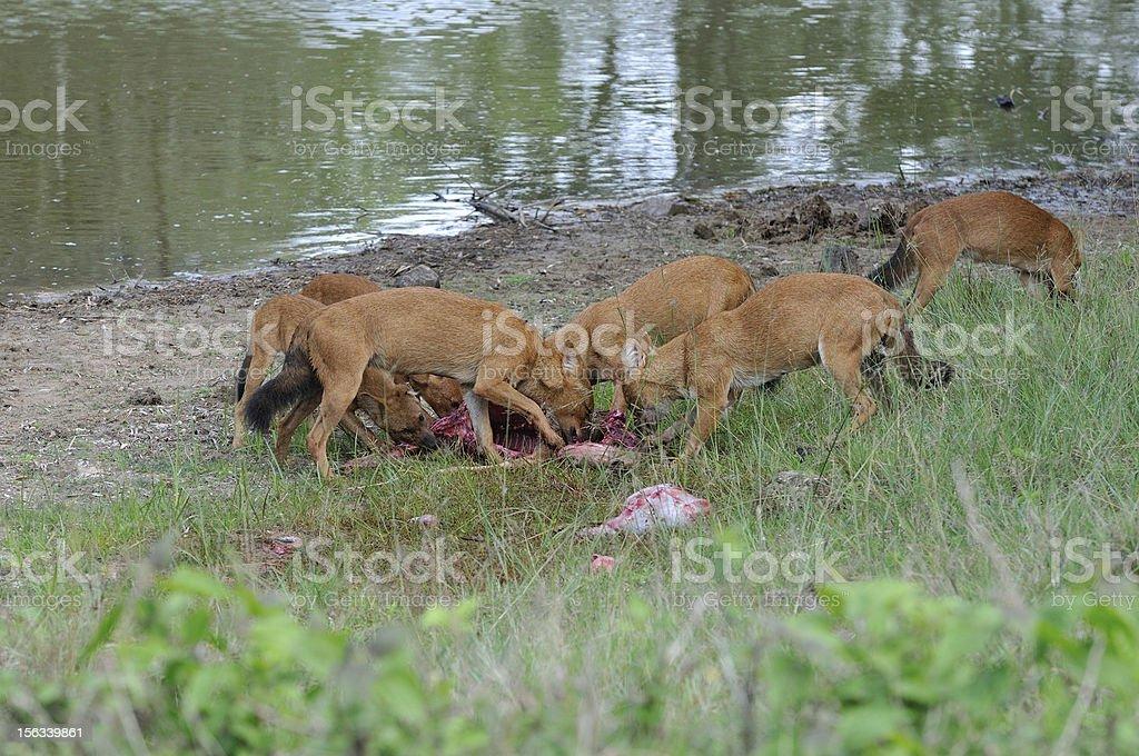 Dhole or Indian wild dog. royalty-free stock photo