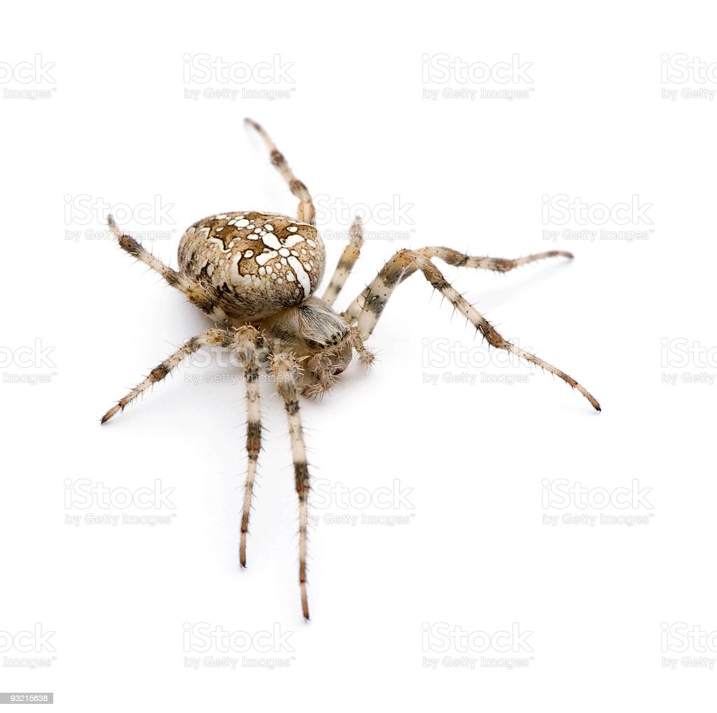 Diadem spider - Araneus diadematus stock photo