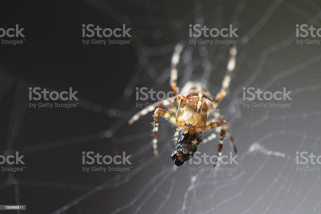 Diadem spider with prey stock photo