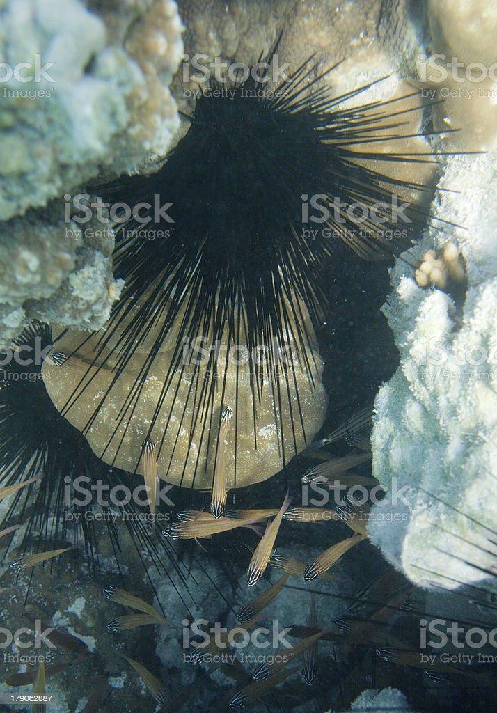 Diadema Setosum royalty-free stock photo