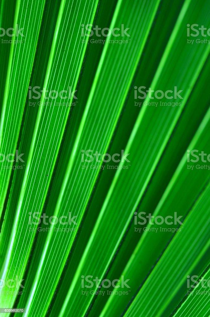 Diagonal, backlit, striped leaf segments o cabbage palm leaf stock photo