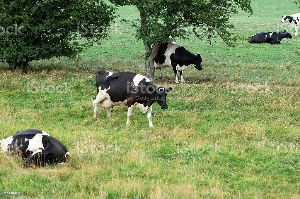 Diagonal Cows stock photo