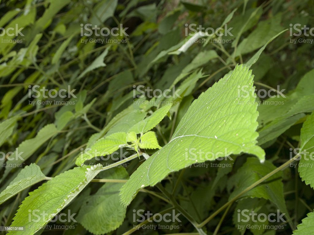 Diagonal leaves royalty-free stock photo