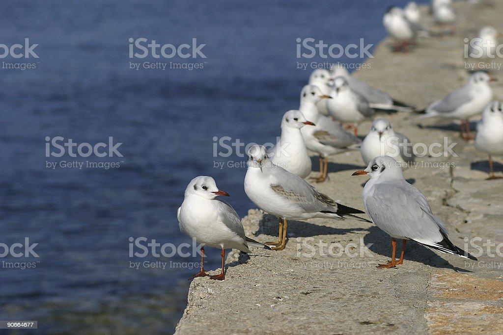 Diagonal of seagulls stock photo