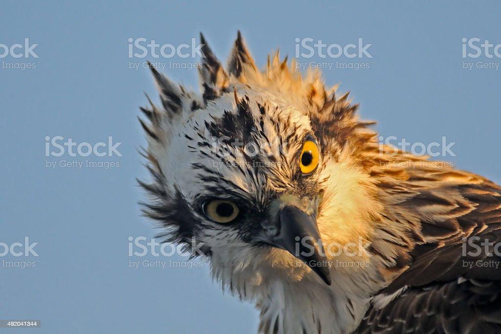Diagonal portrait of Osprey stock photo