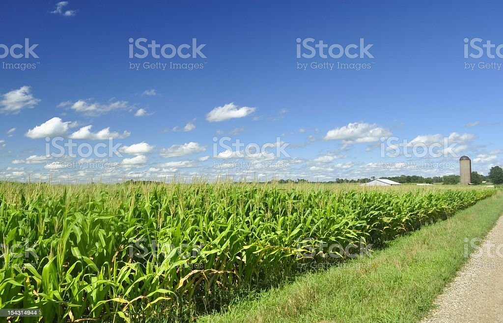 Diagonal view of a corn field in a blue sky day stock photo