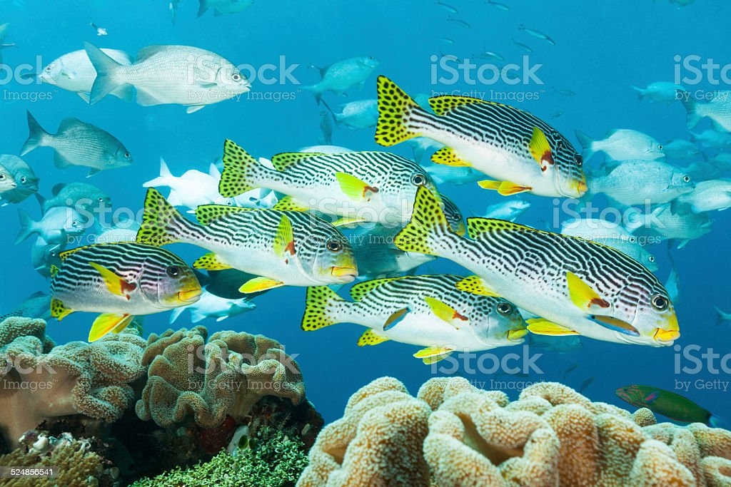 Diagonal-banded Sweetlips in Shallow Water, Raja Ampat, Indonesia stock photo