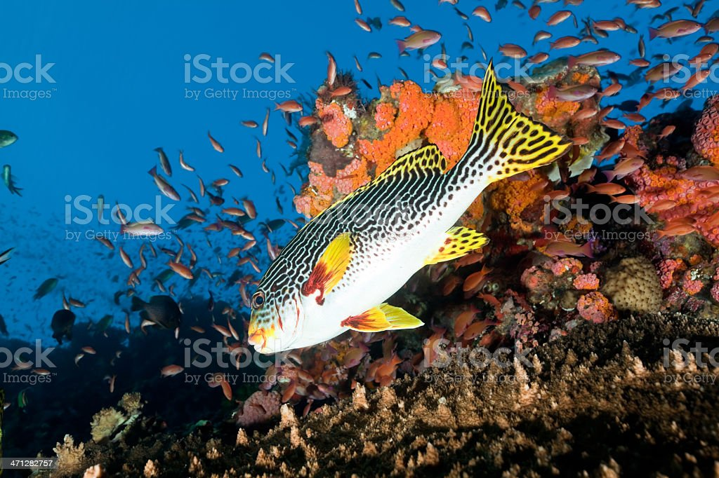 Diagonalbanded Sweetlips swimming into the deep, Komodo National Park, Indonesia stock photo