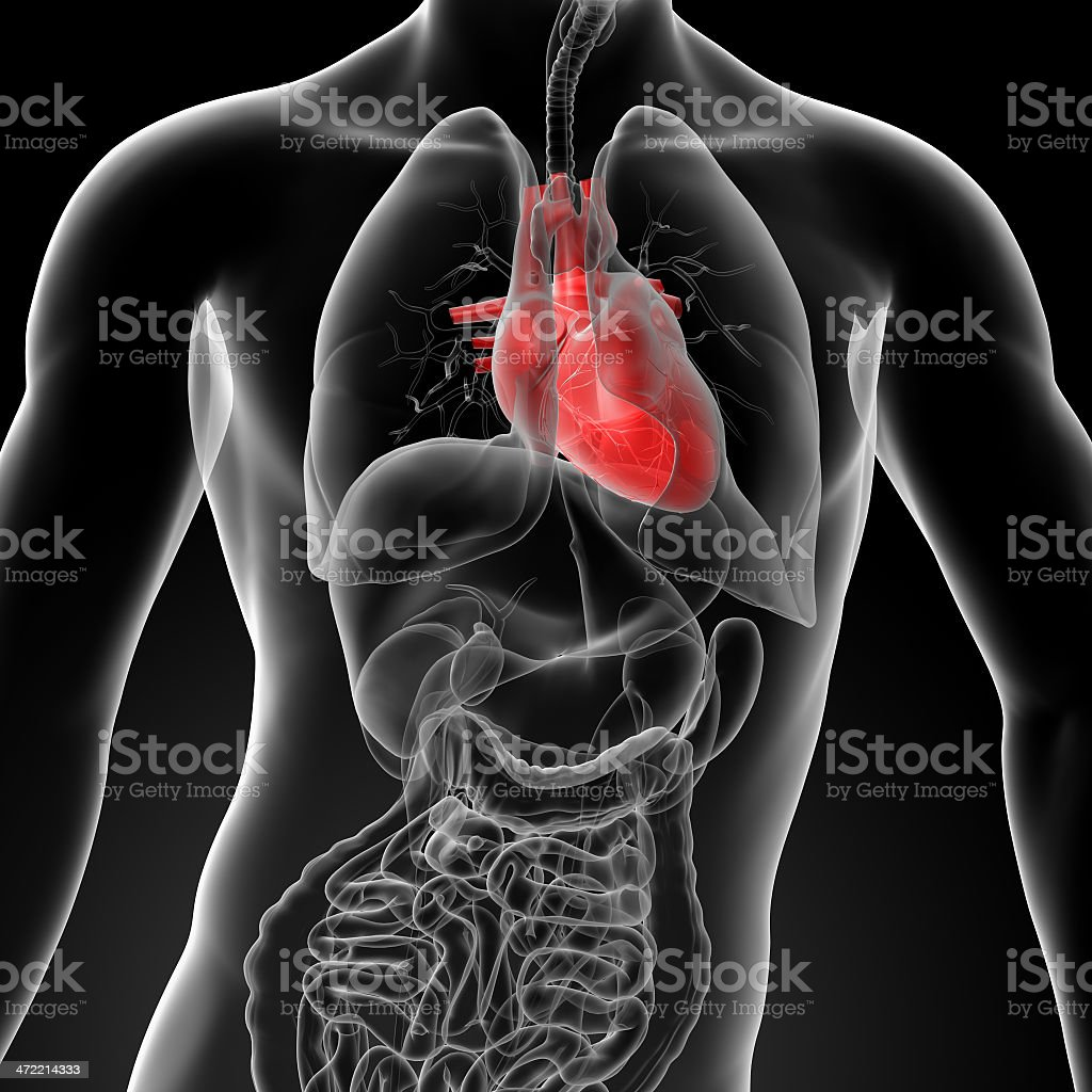 3D diagram of human body with red heart stock photo