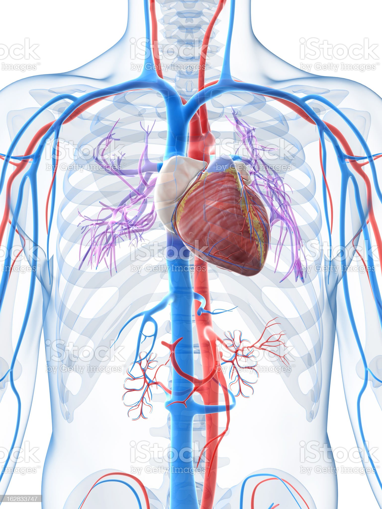 Diagram of the human heart and veins royalty-free stock photo