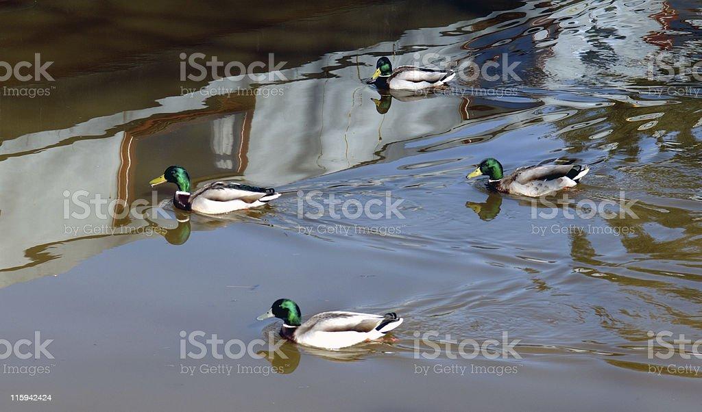 Diamond Ducks! stock photo