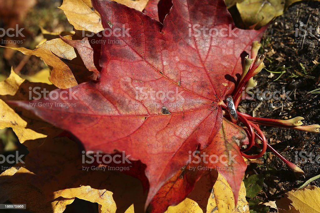 Diamond ring in the fall royalty-free stock photo