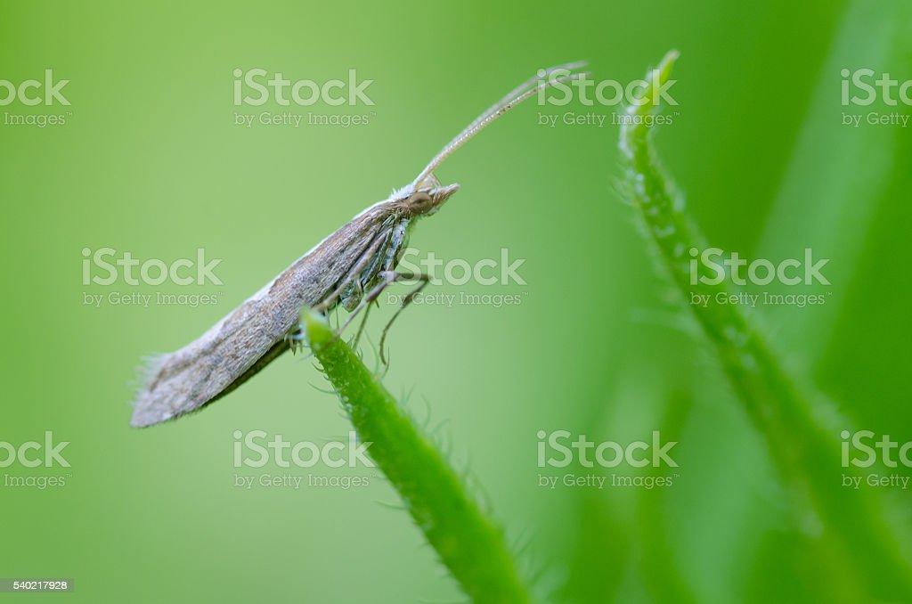 Diamond-back moth (Plutella xylostella) stock photo