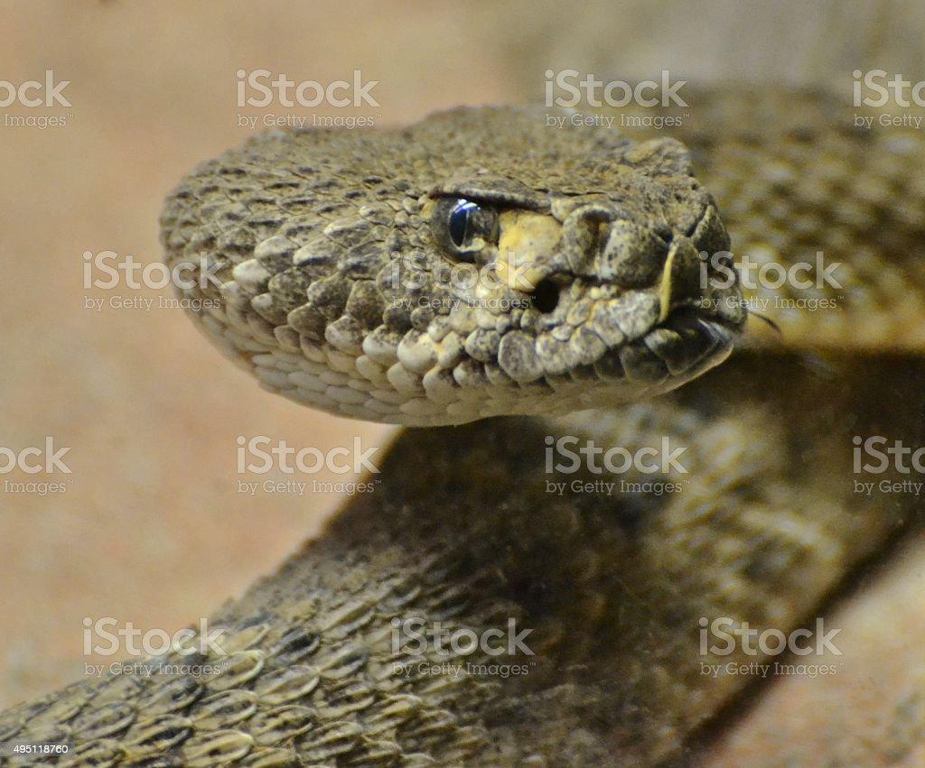 Diamondback Rattlesnake (Crotalus atrox) stock photo