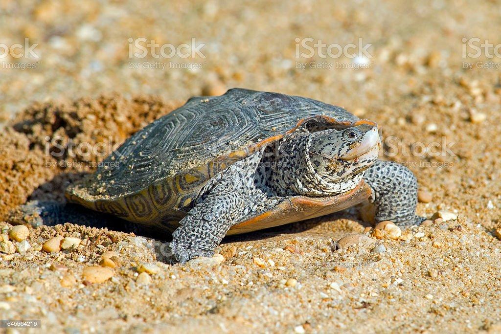 Diamondback Terrapin Turtle Laying Eggs stock photo