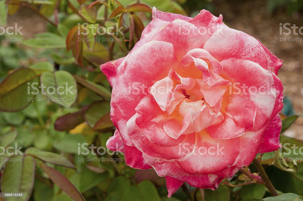 Diana, Princess of Wales Rose royalty-free stock photo