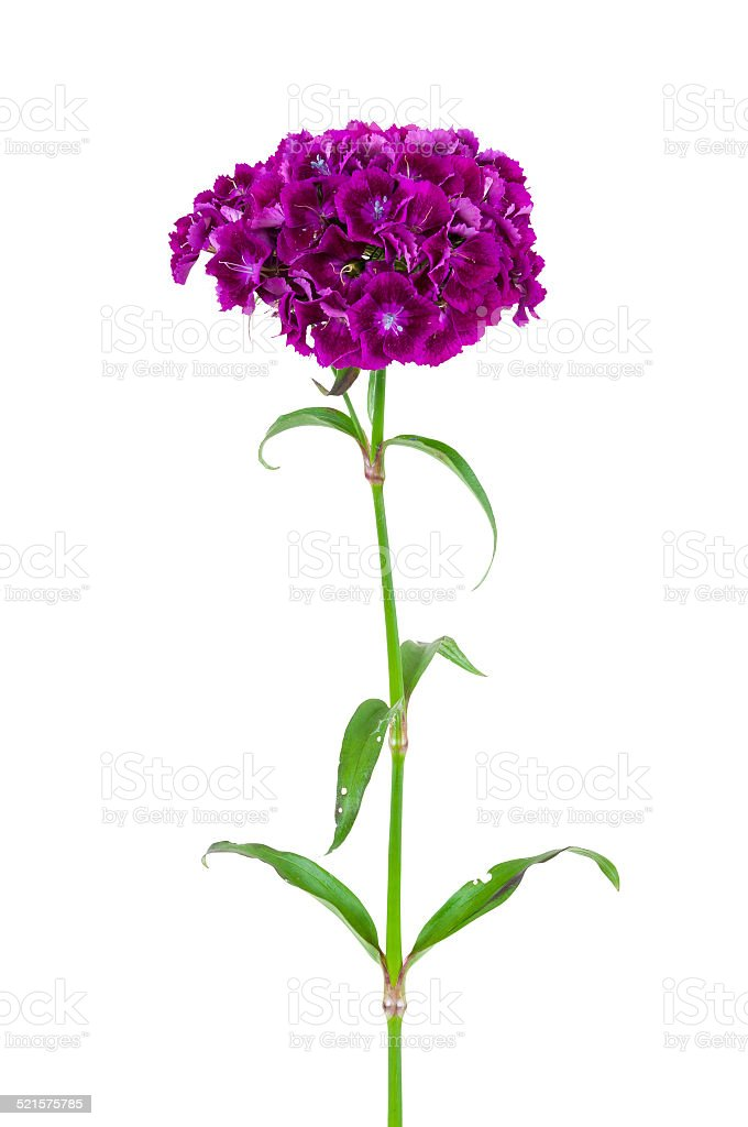 Dianthus barbatus flower isolated on white background stock photo