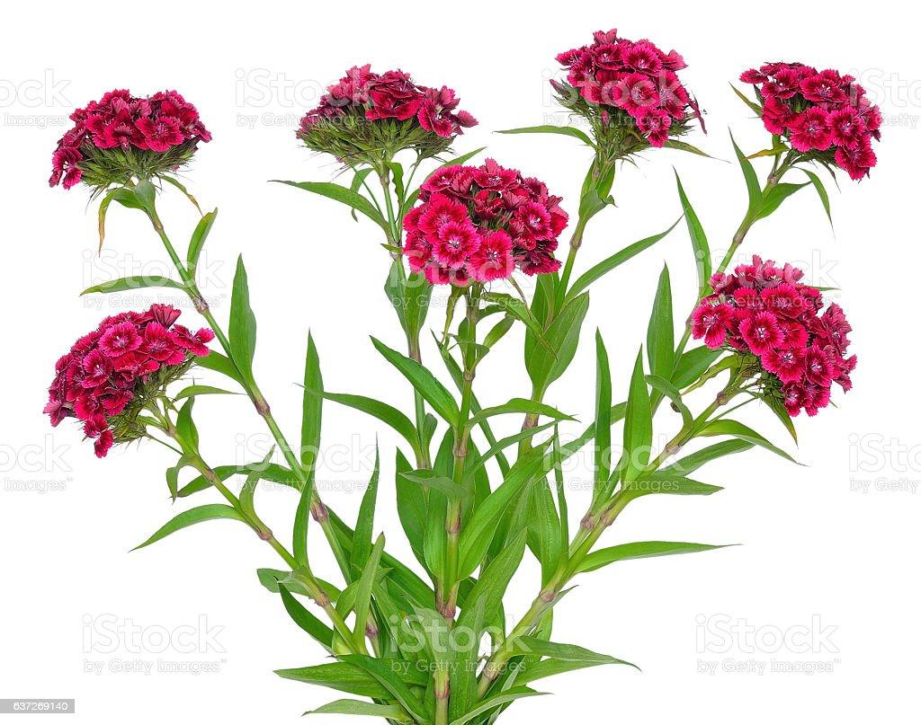 Dianthus barbatus flower stock photo
