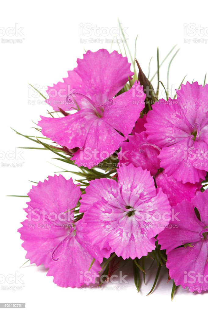 Dianthus barbatus pink flowers isolated close-up. vertical stock photo