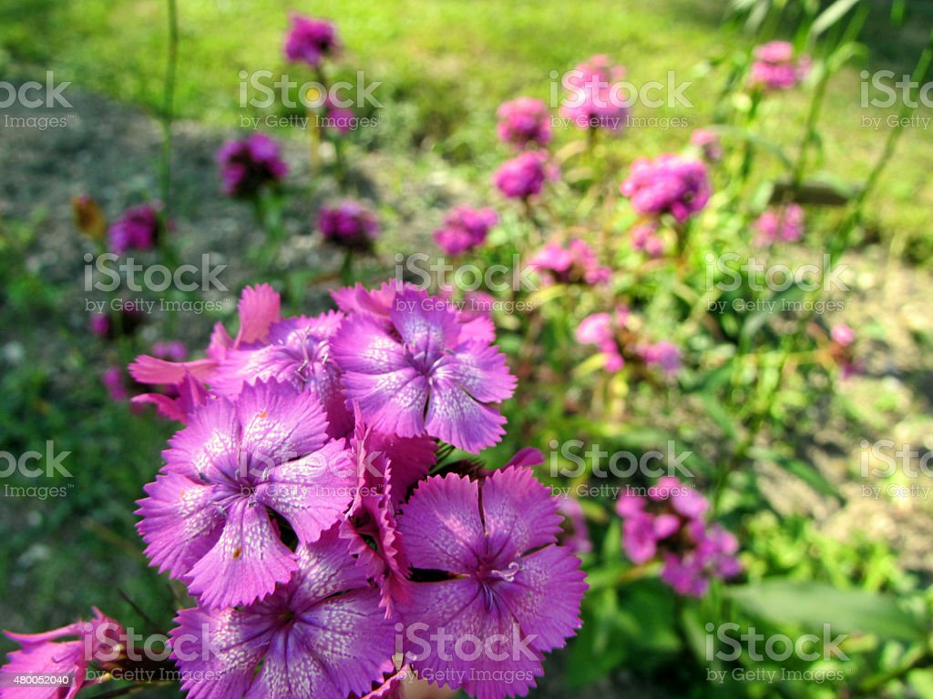 Dianthus barbatus Sweet William stock photo