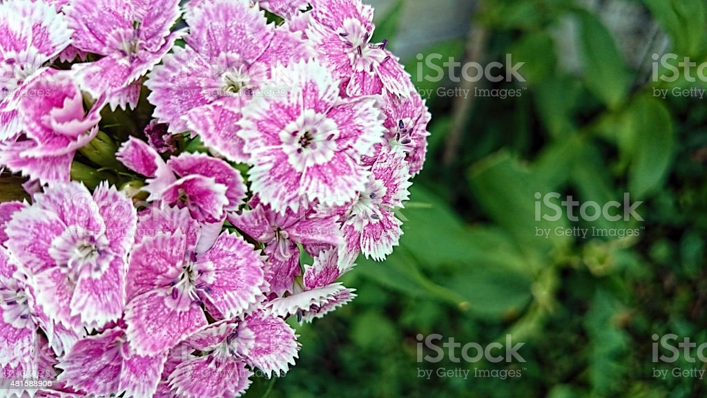 Dianthus barbatus Sweet William stock photo