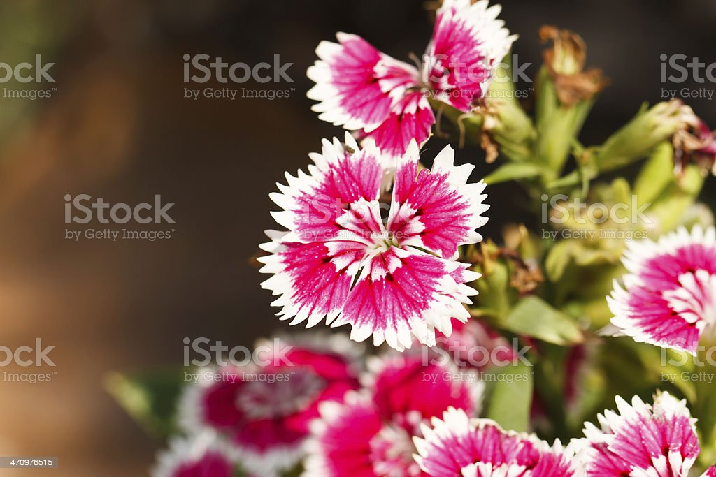 Dianthus blossoming stock photo
