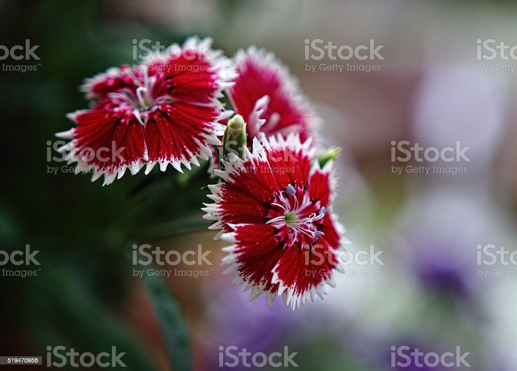 Dianthus chinensis  After the Rain stock photo