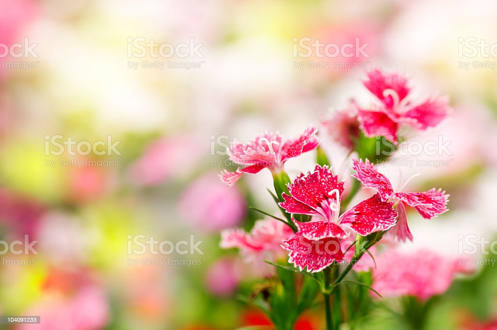 Dianthus chinensis flower royalty-free stock photo