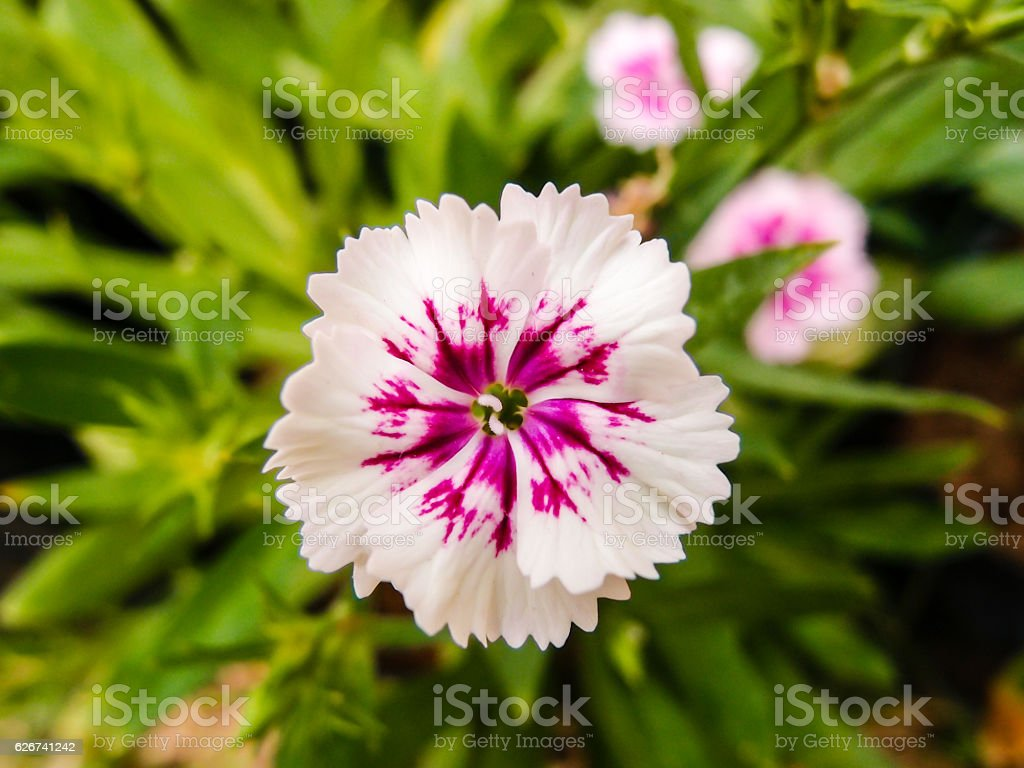 Dianthus chinensis (China Pink) Flowers in the garden stock photo