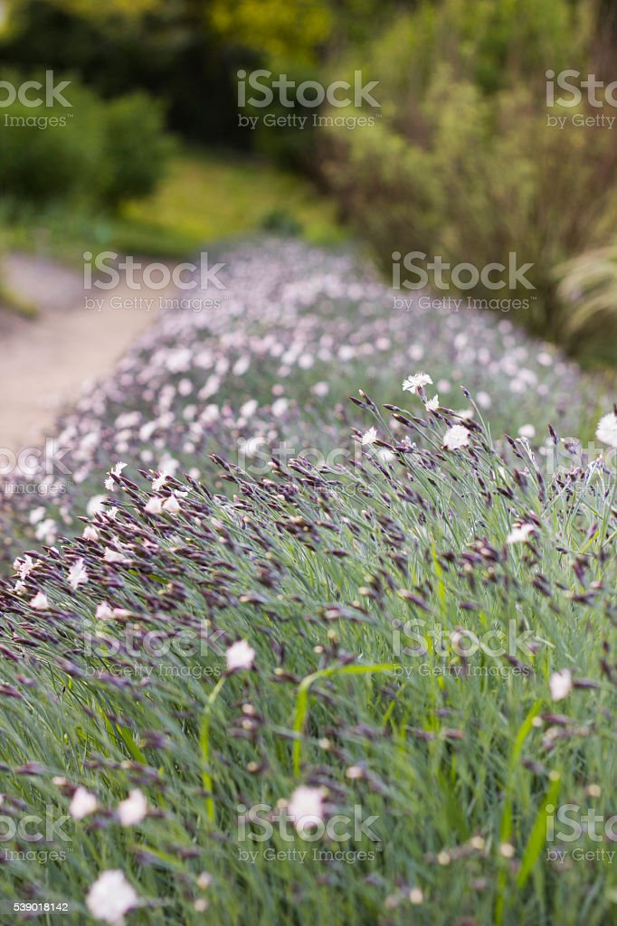 Dianthus deltoides, Confetti White, flowers stock photo