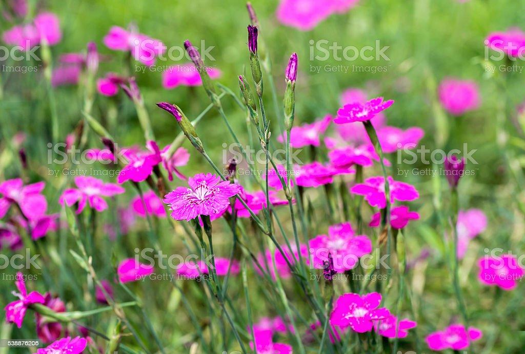 Dianthus deltoides stock photo