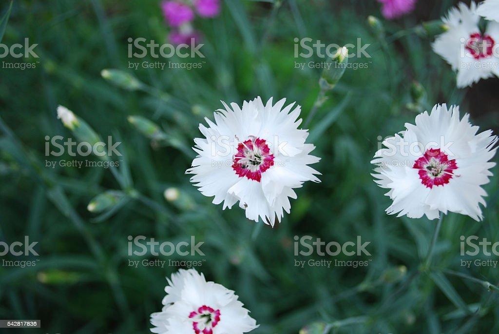 Dianthus deltoides white flowers. stock photo