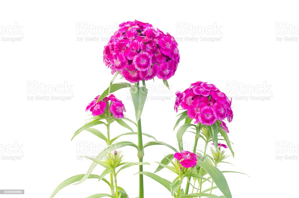 dianthus flower isolated on white background stock photo