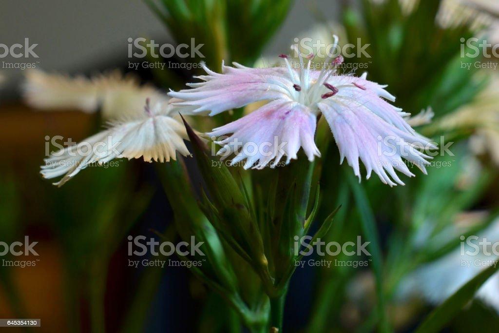 Dianthus flower macro stack stock photo