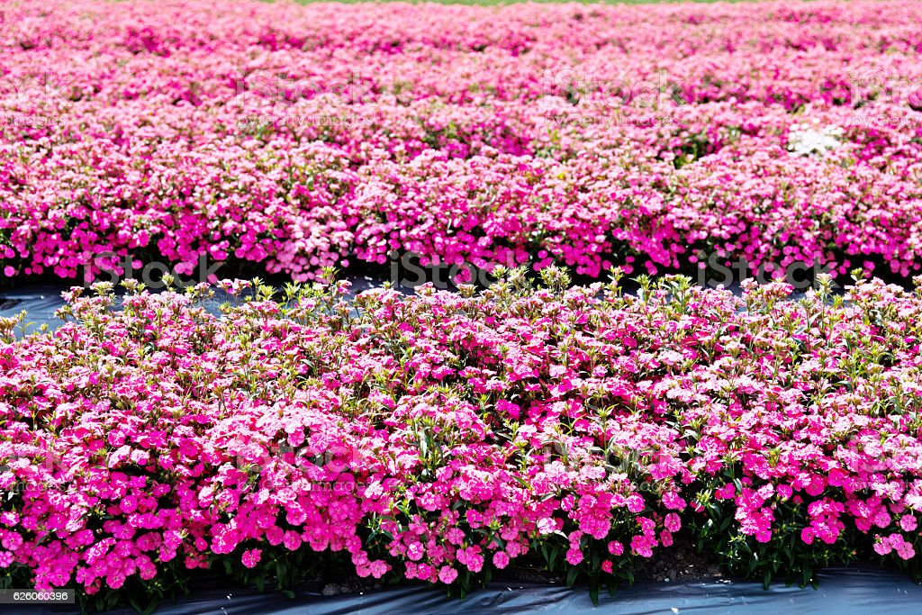 Dianthus flowers in the garden stock photo