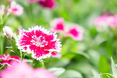 Dianthus flowers in the park , colorful flowers in the garden