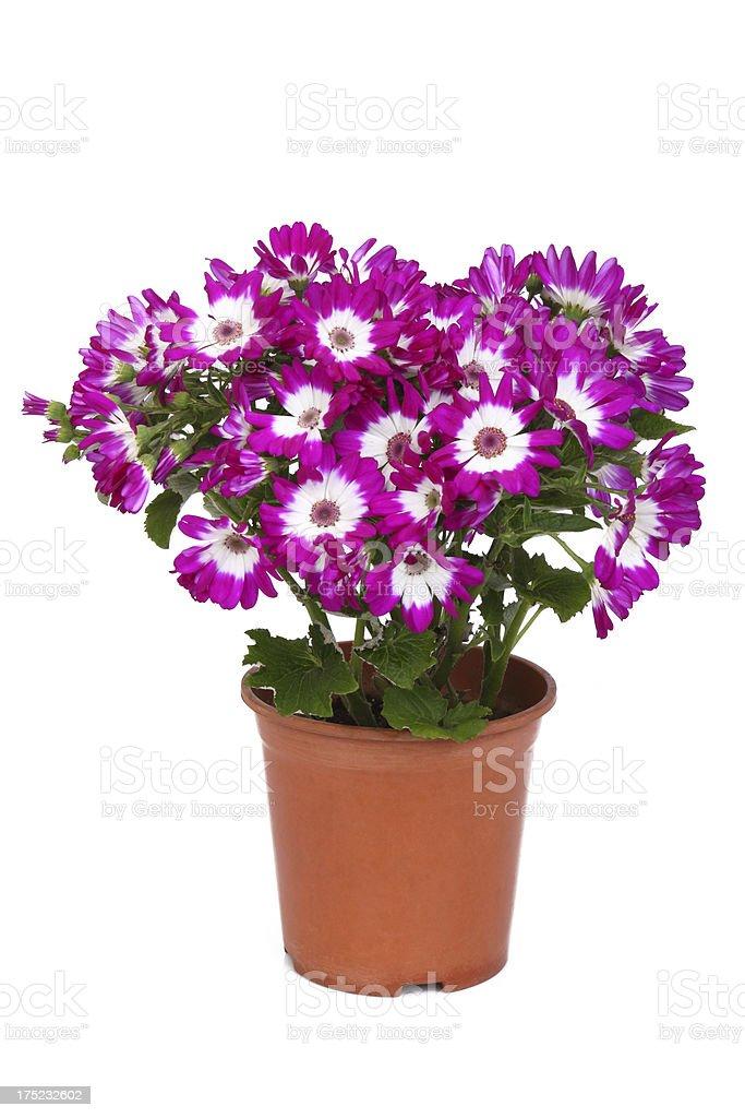 Dianthus flowers stock photo