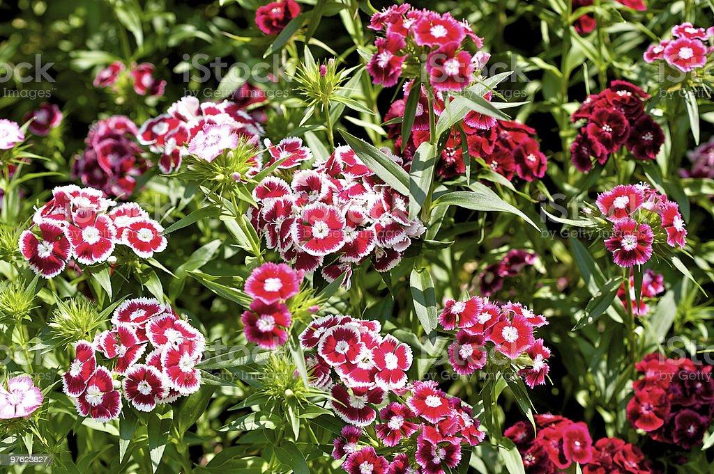 Dianthus flowers  (sweet william) stock photo